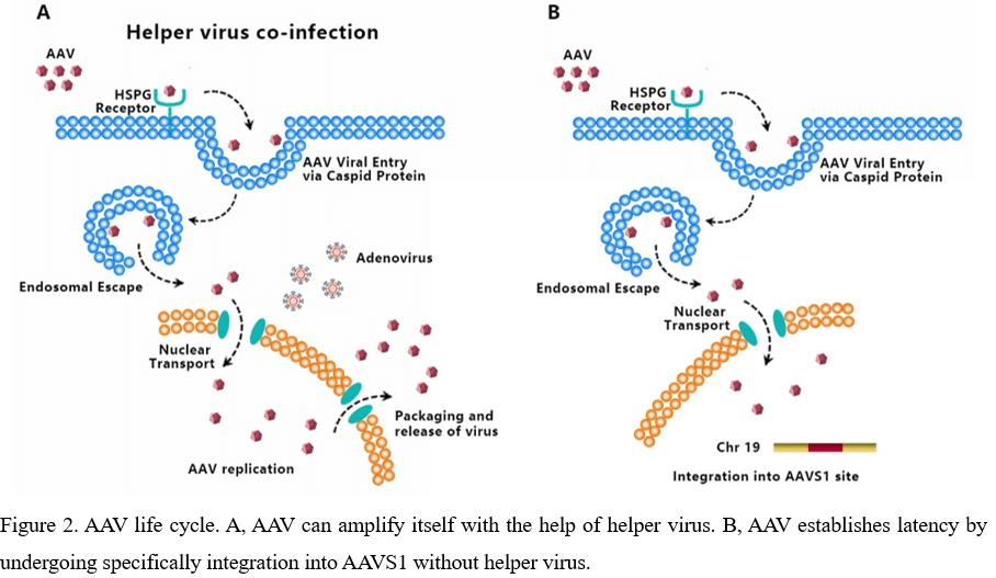 Adeno Associated Virus AAV